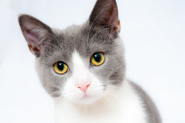 white and gray cat looking at you, with his yellow and green eyes